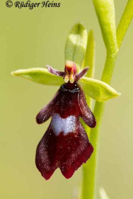 Ophrys insectifera (Fliegen-Ragwurz), 7.6.2013