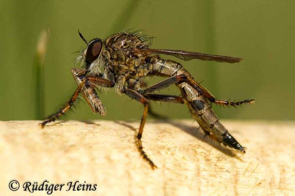 Tolmerus cingulatus (Burschen-Raubfliege) Weibchen, 18.8.2020