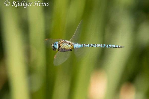 Aeshna affinis (Südliche Mosaikjungfer) Männchen im Flug, 6.8.2021 - Makroobjektiv 180mm f/3.5