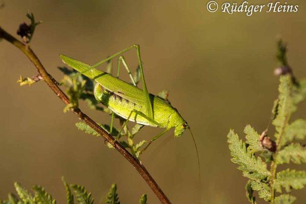 Phaneroptera falcata (Gemeine Sichelschrecke) Weibchen, 14.9.2020