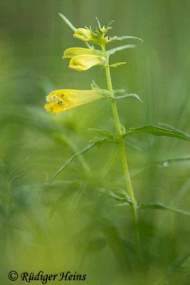 Melampyrum pratense (Wiesen-Wachtelweizen), 5.6.2020