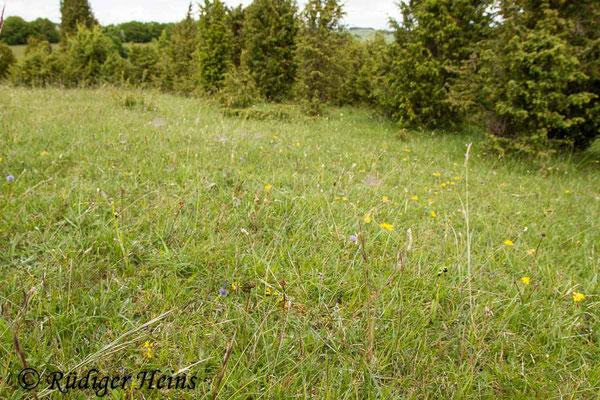 Ophrys insectifera (Fliegen-Ragwurz) Habitat, 20.5.2015