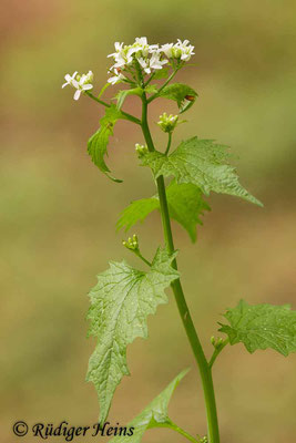 Alliaria petiolata (Knoblauchsrauke), 27.4.2019