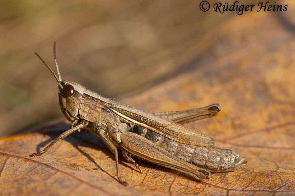 Chorthippus albomarginatus (Weißrandiger Grashüpfer) Weibchen, 25.10.2006