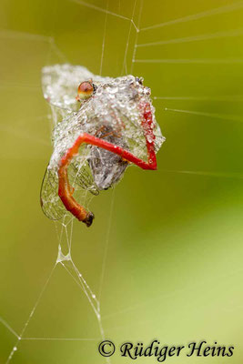 Ceriagrion tenellum (Scharlachlibelle) Männchen im Spinnennetz, 6.8.2016