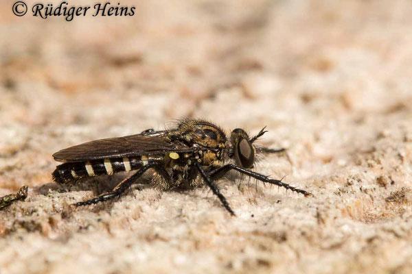 Cyrtopogon lateralis (Kleine Makelfliege) Weibchen, 5.7.2020