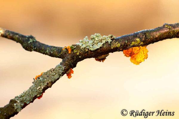 Goldgelber Zitterling (Tremella mesenterica), 30.12.2016