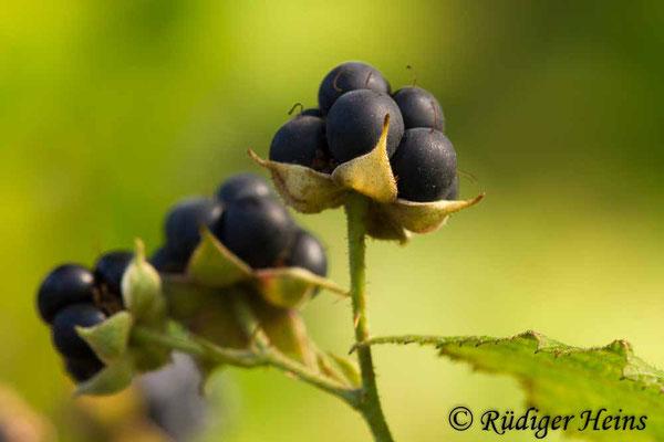 Rubus caesius (Kratzbeere), 23.8.2018