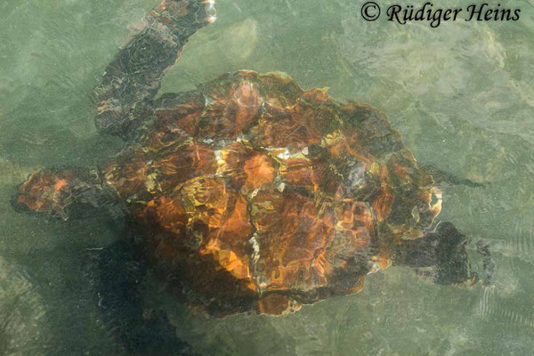 Chelonia mydas (Grüne Meeresschildkröte), 17.2.2020