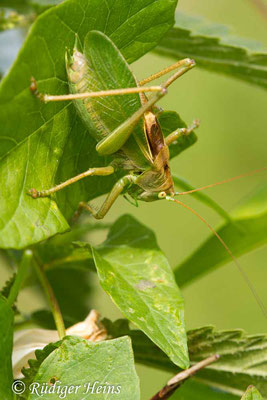 Tettigonia cantans (Zwitscherschrecke) Männchen, 3.8.2019