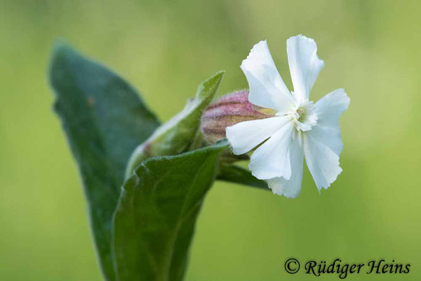 Silene latifolia (Weiße Lichtnelke), 31.5.2021