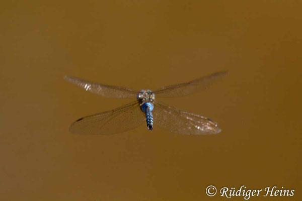 Aeshna mixta (Herbst-Mosaikjungfer) Männchen, 24.8.2013