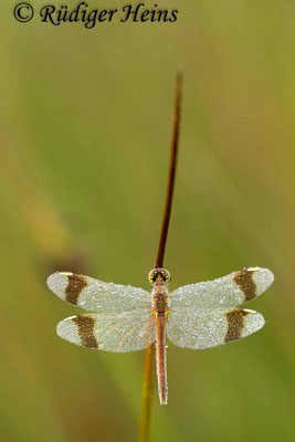 Sympetrum pedemontanum (Gebänderte Heidelibelle) Weibchen, 27.7.2012