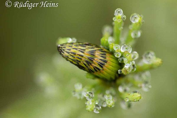 Equisetum fluviatile (Teich-Schachtelhalm), 6.6.2021