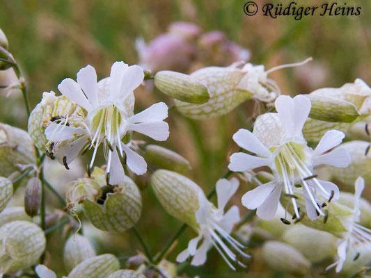 Silene vulgaris (Taubenkropf-Leimkraut), 1.7.2015