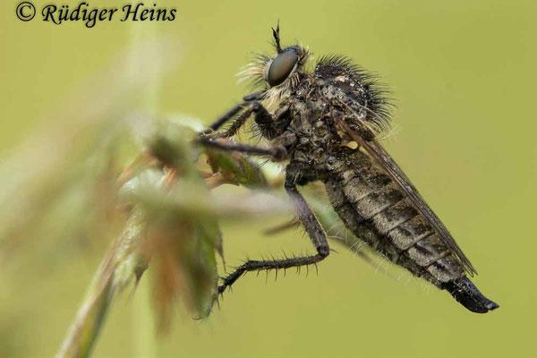 Dysmachus trigonus (Säbel-Raubfliege) Weibchen, 10.6.2021 - Makroobjektiv 180mm f/3.5