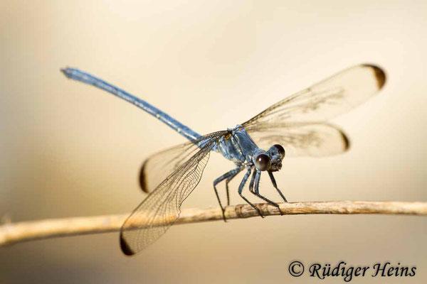 Epallage fatime (Blaue Orientjungfer) Männchen,  17.5.2015