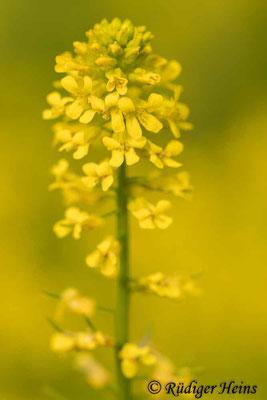 Barbarea vulgaris (Barbarakraut), 24.5.2020