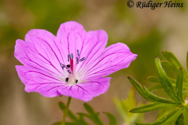 Geranium sanguineum (Blutroter Storchschnabel), 19.5.2012