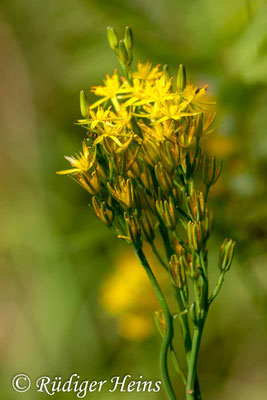 Narthecium ossifragum (Moorlilie, Beinbrech), 28.7.2015