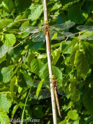 Aeshna isoceles (Keilfleck-Mosaikjungfer) Männchen und Weibchen, 29.5.2018