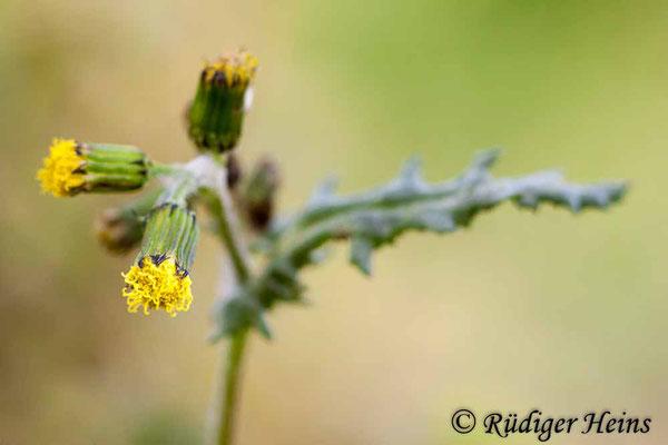 Senecio vulgaris (Gewöhnliches Greiskraut), 15.3.2020