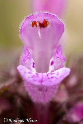 Lamium purpureum (Purpurrote Taubnessel), 8.3.2020
