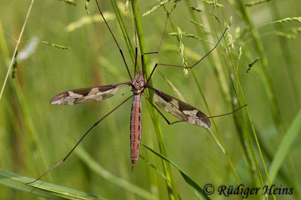 Tipula maxima (Riesenschnake), 3.6.2007