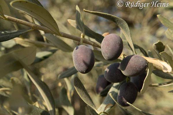 Olea europaea (Olive), 17.10.2018