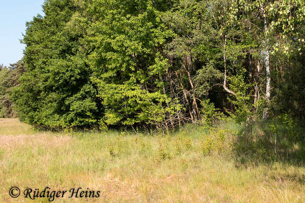 Saperda populnea (Kleiner Pappelbock) Habitat, 9.6.2020
