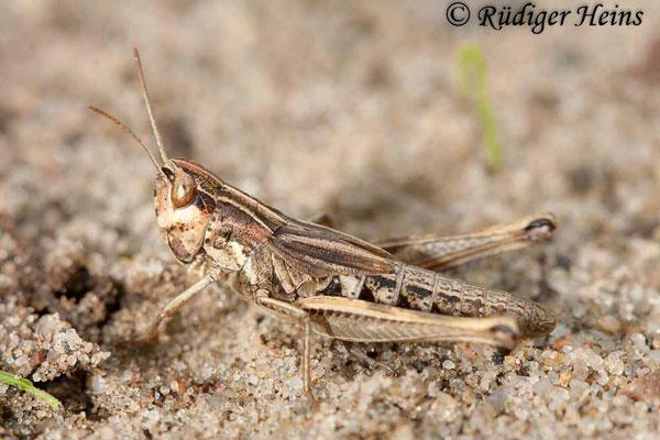 Chorthippus mollis (Verkannter Grashüpfer) Weibchen Larve, 15.8.2010
