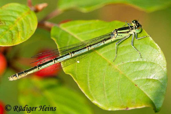 Erythromma lindenii (Pokaljungfer, Saphirauge) Weibchen, 4.7.2009