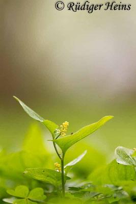 Maianthemum bifolium (Zweiblättrige Schattenblume), 6.5.2017