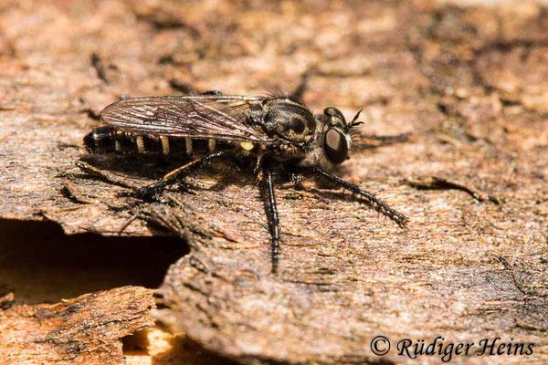Cyrtopogon lateralis (Kleine Makelfliege) Männchen, 2.7.2021
