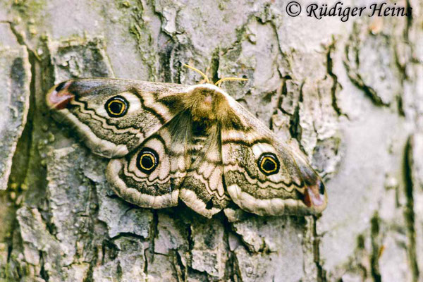 Saturnia pavonia (Kleines Nachtpfauenauge), 4.5.1986 (Scan vom Dia)