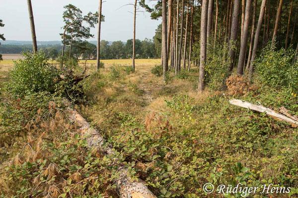 Choerades ignea (Zinnober-Mordfliege) Habitat im Landkreis Lüneburg, 23.9.2020