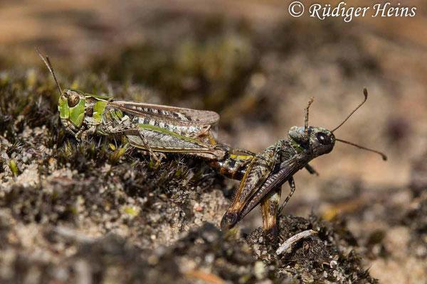 Myrmeleotettix maculatus (Gefleckte Keulenschrecke) Paarung, 23.8.2021