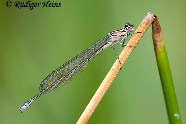 Coenagrion puella (Hufeisen-Azurjungfer) Weibchen, 29.6.2008