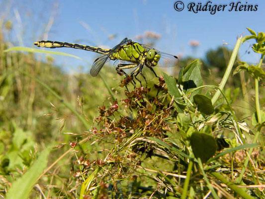Ophiogomphus cecilia (Grüne Flussjungfer) Männchen, 31.7.2012