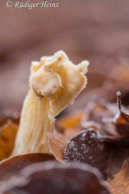Helvella crispa (Herbst-Lorchel), 26.12.2020