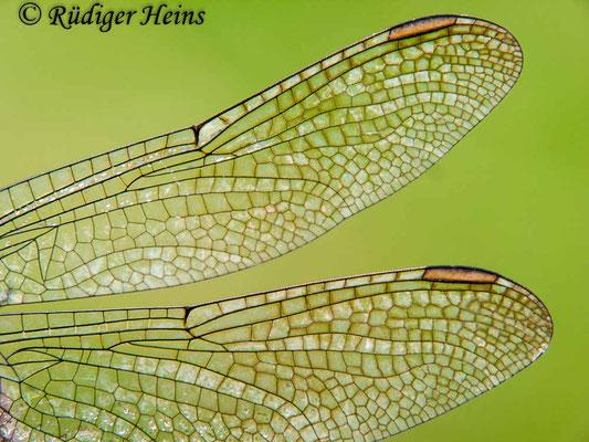 Orthetrum coerulescens (Kleiner Blaupfeil) Flügeldetail vom Männchen, 15.8.2009