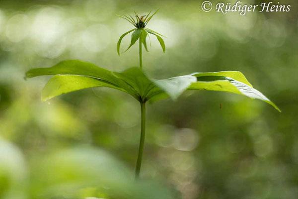 Paris quadrifolia (Vierblättrige Einbeere) Blüte, 25.5.2021 - Helios 44-2 58mm f/2