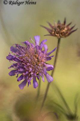 Knautia arvensis (Acker-Witwenblume), 29.9.2020