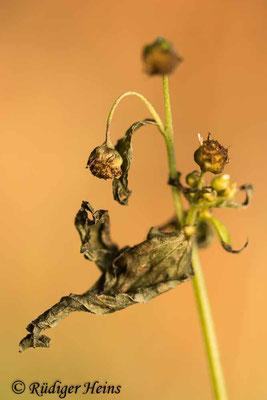 Galinsoga parviflora (Kleinblütiges Franzosenkraut), 21.12.2020