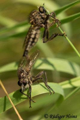 Dysmachus trigonus (Säbel-Raubfliege) Paarung, 19.6.2021 - Makroobjektiv 180mm f/3.5