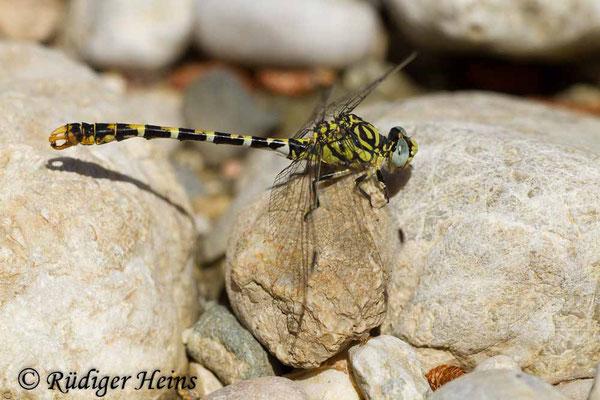 Onychogomphus forcipatus albotibialis (Östliche Zangenlibelle) Männchen, 15.5.2015