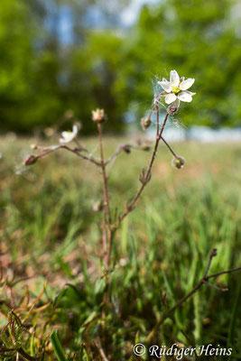 Spergula arvensis (Acker-Spark), 8.5.2020