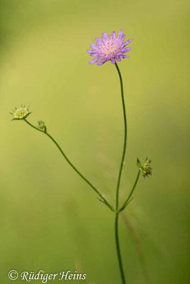 Knautia arvensis (Acker-Witwenblume), 9.6.2016