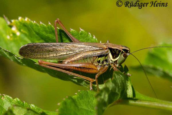 Roeseliana roeselii (Roesels Beißschrecke) makropteres Weibchen, 4.7.2018