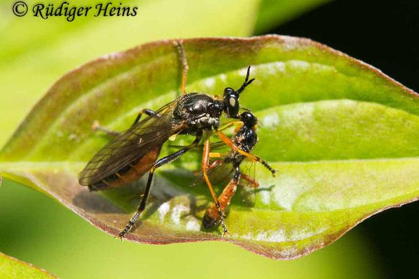 Dioctria hyalipennis (Gemeine Habichtsfliege) Weibchen, 30.5.2021
